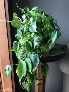 15 of the best indoor plants for small living spaces. 15 of the best indoor plants for small living spaces. Best Indoor Plants, Outdoor Plants, Garden Spaces, Garden Plants, Landscaping Plants, Potted Plants, Organic Gardening, Gardening Tips, Organic Plants