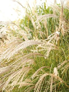 Despite their light, airy qualities, ornamental grasses have a way of making a big impact and rounding out any garden space.