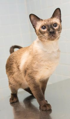 Meet Cezsar, a Petfinder adoptable Siamese Cat | New York, NY | Cezsar was accepted into the Alliance after his former owner left him in the apartment alone when...