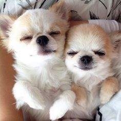 Effective Potty Training Chihuahua Consistency Is Key Ideas. Brilliant Potty Training Chihuahua Consistency Is Key Ideas. Chihuahua Love, Chihuahua Puppies, Cute Puppies, Cute Dogs, Dogs And Puppies, Chihuahuas, Doggies, Funny Dogs, Teacup Yorkie
