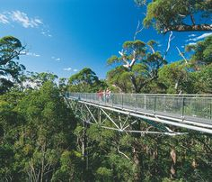 The Tree Top Walk near Walpole, Western Australia reaches heights of over 100 feet and soars through a huge grove of tingle trees.