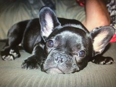 Hootie, the French Bulldog Puppy, #hootie #frenchbulldog