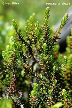 Kukemari - nõmmemetsade taim. Empetrum. Crowberry.