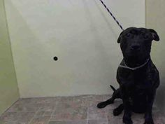 GONE --- Manhattan Center    WEBSTER - A0999974    MALE, BR BRINDLE, PIT BULL MIX, 2 yrs  STRAY - STRAY WAIT, NO HOLD  Reason STRAY   Intake condition NONE Intake Date 05/16/2014, From NY 10457, DueOut Date 05/19/2014 https://www.facebook.com/Urgentdeathrowdogs/photos_stream