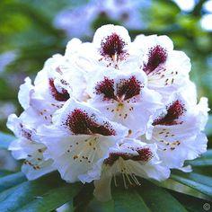 Rhododendron Sappho - 1 strauch  günstig online kaufen, bestellen Sie schnell und bequem online