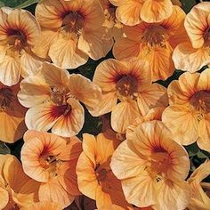 Tip Top Apricot nasturtium seeds - Garden Seeds - Annual Flower Seeds