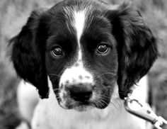 English springer spaniel...a Cookie lookalike
