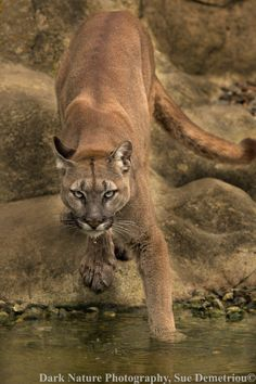 Waterdrop Puma by Sue Demetriou on 500px