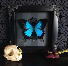 Victorian Blue Swallowtail Butterfly Shadow Box, Framed Butterfly, Taxidermy, Preserved Butterfly, Victorian, Memento Mori, Gothic Decor,All of our specimens are cruelty free, ethically sourced and have died of natural causes.