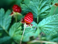 Tips on Growing Raspberry Bushes -- OH HOW FUN IT WOULD BE TO HAVE MY OWN RASPBERRY BUSH!!!
