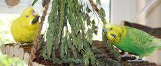 Wildgräser mit reifen bzw. halbreifen Samenständen sind für Wellensittiche wahre Leckerbissen