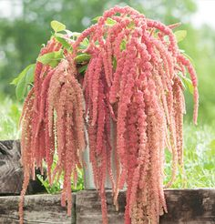 "Coral Fountain Amaranthus Seed for unique coral-pink tassels. Coral Fountain is a great complement to Emerald Tassels and Love-Lies-Bleeding. All have similar plant habits, days to maturity, and great presence in arrangements. Ht. 36-60"". Avg. 56,700 seeds/oz. Packet: 100 seeds."