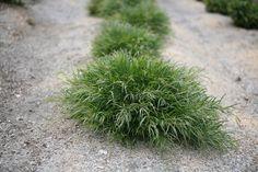 acacia cogntata dwarf bronze cascade Sun Plants, Dwarf, Acacia, Herbs, Bronze, Plants Sunny, Herb, Medicinal Plants