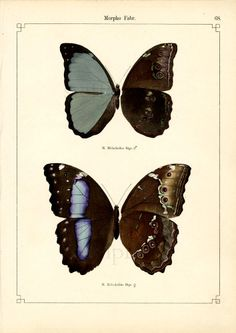 Lithography - Otto Staudinger 1888 - I like the way he combines the in- and outside of the butterfly wings in one image.