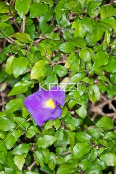Single Simple Purple Flower - A single, dark purple flower with a bright yellow center lays among a large collection of dark, lush green leaves.