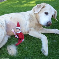 Get this Norelfco away from me! #elfontheshelf #elfontheshelfideas #elfontheshelf2016 #elfontheshelf2015 #elf #dogs #funny