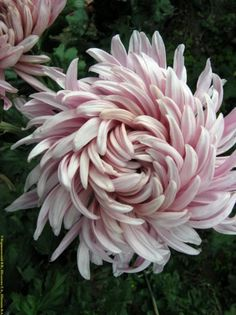 Chrysanthemum.  I thought I didn't like chrysanthemums but this one is beautiful--love the swirls.