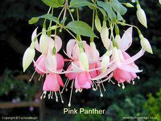 Fuchsia - Pink Panther