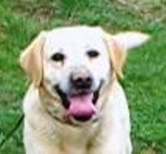 Meet Jesper, a Petfinder adoptable Yellow Labrador Retriever Dog | Baltimore, MD | JESPER NEEDS A FOSTER OR LOVING FOREVER HOME!!!Fosters make it possible for Dogs XL to save and...