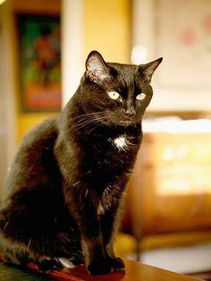 "From Celeste: ""This is Rumpleteazer (Teazer). We had to let her go almost 2 years ago at the wonderful age of 18. She was part feral, but became so calm by the age of 6 that no one ever knew we had a cat. She was such a sweet perfect little girl."" In October, we are celebrating black cats for Halloween. www.catfaeries.com - Products for good behavior & health for the modern housecat."