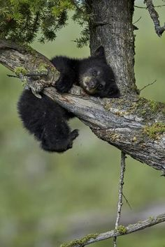 Black Bear (Ursus americanus) cub of the year or spring cub, Yellowstone Nat'l Park, Wyoming, USABy James Hager - Tiere - Animals Baby Panda Bears, Bear Cubs, Baby Pandas, Grizzly Bears, Tiger Cubs, Tiger Tiger, Bengal Tiger, Cute Baby Animals, Animals And Pets