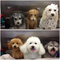 dogs during and after grooming, LOL!!!