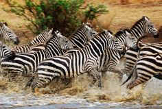 Every spring in Botswana, hundreds of zebras leave the largest inland delta in the world on a 150-mile slog into hell  a desert of salt and sand  so that their bodies can take in much-needed minerals. Their stripes help protect them from predators as long as they stick together  blurring their lines and making them indistinguishable as individual animals.