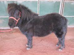 Robbie, the Shetland Pony.
