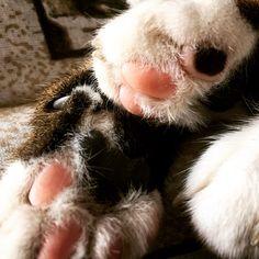 My jelly beans!!! #BonsaiKitten #SirTobias #JellyBeanPaws