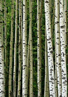 White birch bark.