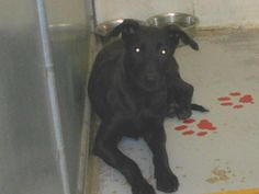 Meet+Kennel+#+38,+a+Petfinder+adoptable+Black+Labrador+Retriever+Dog+|+Elyria,+OH+|+Kennel+#++38++available+for+adoption++5/27