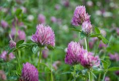 Apila / Klöver / Cornflower / Puna-apila - trifolium pratense