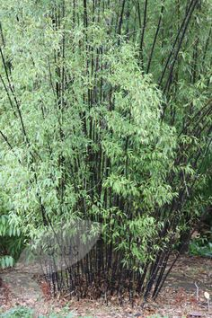 Buy black bamboo Phyllostachys nigra - Slim black canes and small leaves: Delivery by Waitrose Garden Japanese Garden Plants, Bamboo Garden, Garden Shrubs, Black Bamboo Plant, Bamboo Tree, Phyllostachys Nigra, Bamboo Landscape, Fatsia Japonica, Townhouse Garden