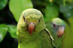 perroquets-verts-d-amazonie-peruvienne_1399592683.jpg