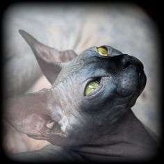 The so called hairless Sphynx, also known as the Canadian Hairless Cat. The gene of hairlessness has appeared as a spontaneous mutation several times during the past century, in well documented occurrences in Europe, Australia and America. The most f have your cake and eat it to. mikiesinfomall.com