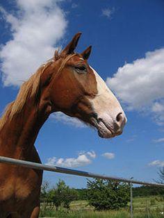 The Frederiksborg Horse
