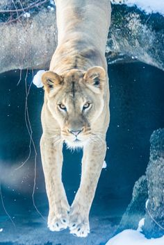 .......to late   by CarinaMcKee - lion - wild animals - big cat