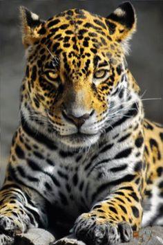 Леопард - анимация на телефон №1269631