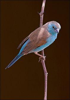 Blue Waxbill by Achim {AnyMotion} ~ Blauastrild od. Angola Schmetterlingsfink (Uraeginthus angolensis), Lesoma Valley Lodge near Kasane, Botswana, Africa