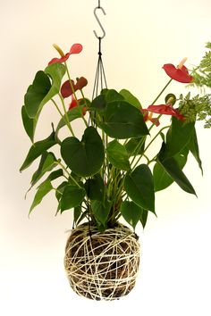 Red Anthurium kokedama www.kouyou.ink
