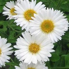 Aster Alpinus White