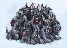 bunch of Scotch Terriers Wow Wee, Nanny Dog, Baby Otters, Dog Crafts, Dog Quotes, Westies, Beautiful Dogs, Cute Baby Animals, Dog Art