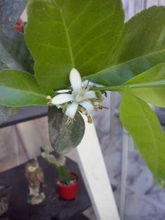 Limoeiro florindo.