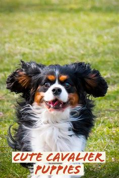 While the Cavalier King Charles Spaniel wasn't the initial breed to be reproduced as a buddy pet, it was the very first to be reproduced especially as an indoor canine. As a matter of fact, the not so serious was just bred for tiny spaces after it was discovered that its short coat dropped too much when it was allowed to run around in the outdoors. Dog Care: Useful Tips To Get A Healthy Canine A dog is really a person's best possible friend, as they say. An incredible number of peopl