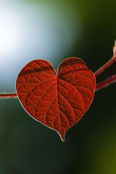 red heart-shaped leaf