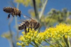 Bee Sting? 10 Ways to Remove the Stinger Without Using Tweezers Save The Bees, Beekeeping, Bee City, Mother Earth News, Bee Friendly, Bee Sting, Honey Bees, Monarch Butterfly, Change Org
