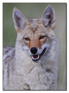 anim, fox, coyotes