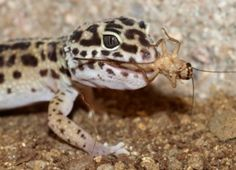 Leopard Gecko Food and Diet