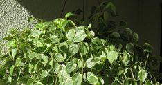 Plantas Ornamentais boas para colocar em apartamento. Peperômia Peperômia Peperômia (alguns meses depois) Véu de N... Plantar, Gardening, Jewels, Jewellery, Bathroom, Clothing, Home Decor, Fashion, Vegetable Garden Tips