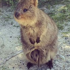 Quokka and baby Quokka in pouch. Quokkas only live on one very small island off of Perth western Australia . . . #critters . . .#animals